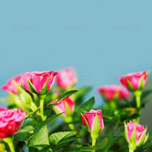 PhotoDune pink roses 3866255
