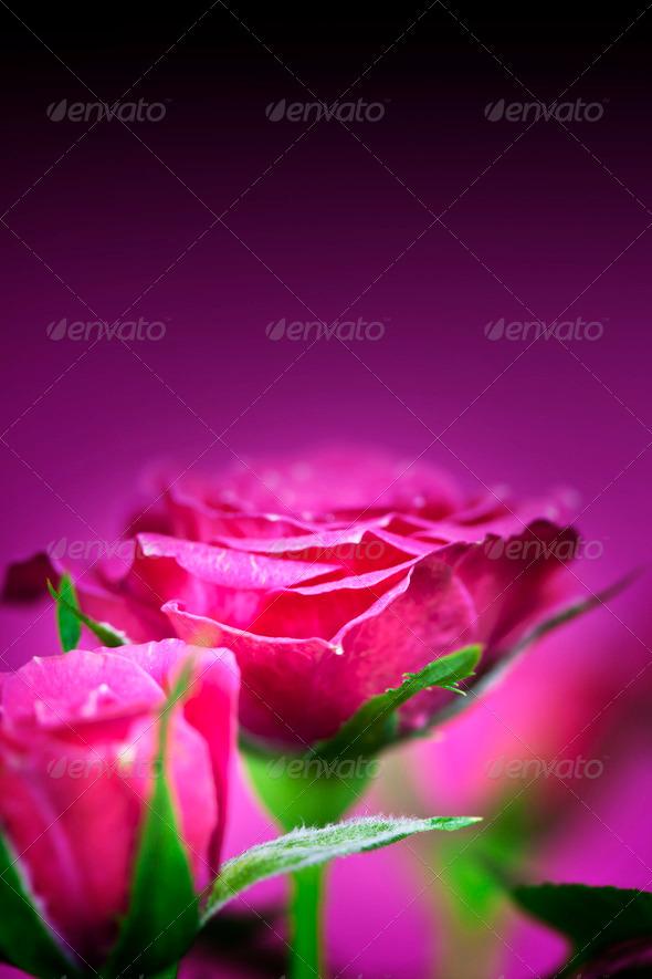 PhotoDune pink roses 3866258