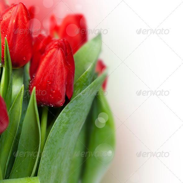 PhotoDune red tulips 3866268
