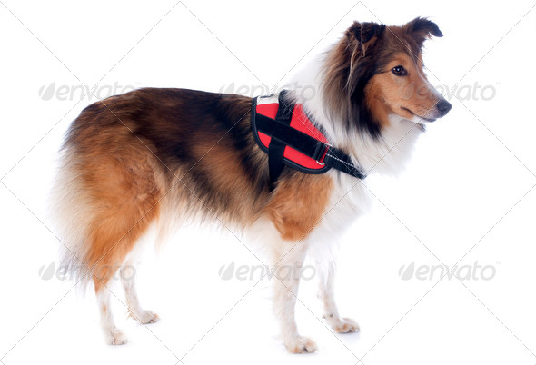 PhotoDune shetland dog and harness 3866326