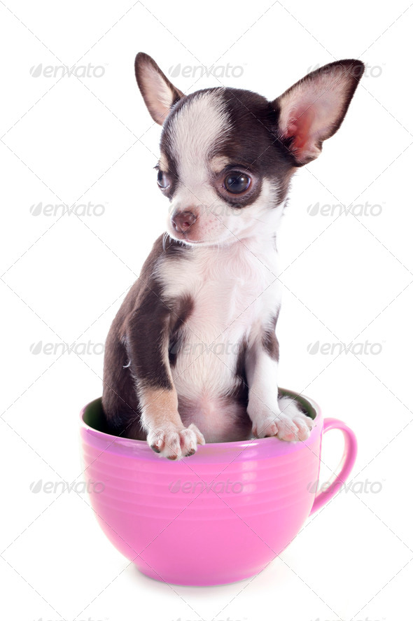 PhotoDune puppy chihuahua in a cup 3866327