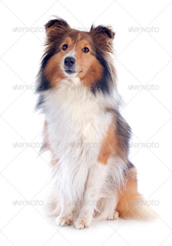 PhotoDune shetland dog 3866329