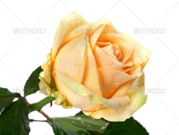 Rose bud with water drops on white background - Stock Photo - Images