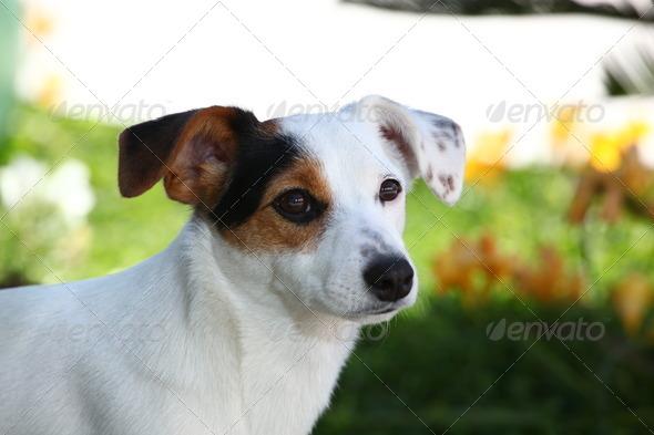 PhotoDune Puppy jack russel terrier 3883269