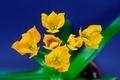 Ornithogalum Dubium - PhotoDune Item for Sale