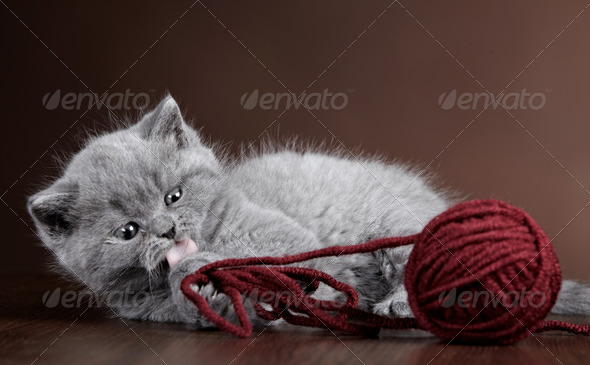 PhotoDune British short hair Kitten and ball of yarn 3884676