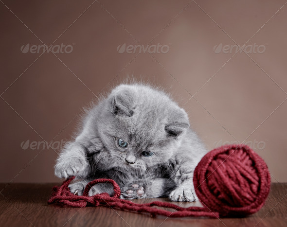 PhotoDune British short hair Kitten and ball of yarn 3886556