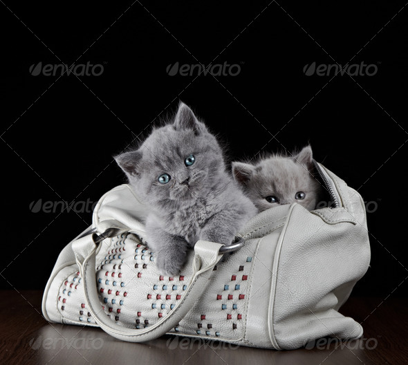 PhotoDune british short hair kittens in a bag 3886557