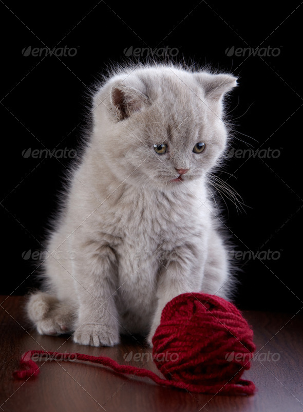 PhotoDune British short hair Kitten and ball of yarn 3889037