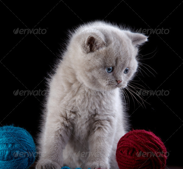 PhotoDune British short hair Kitten and ball of yarn 3889038
