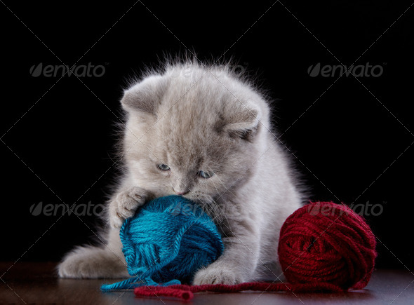 PhotoDune British short hair Kitten and ball of yarn 3889040