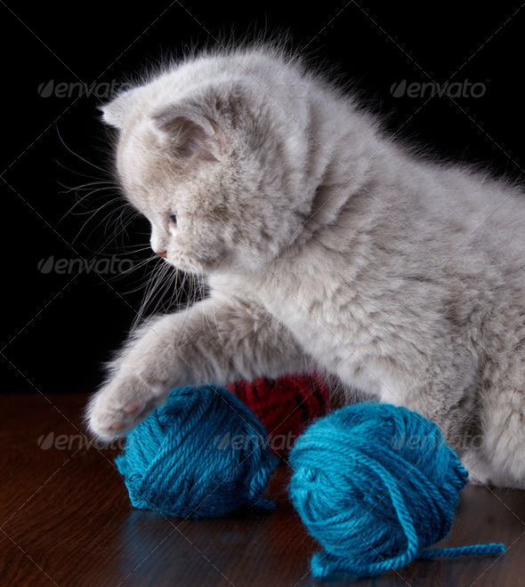 PhotoDune British short hair Kitten and ball of yarn 3889041