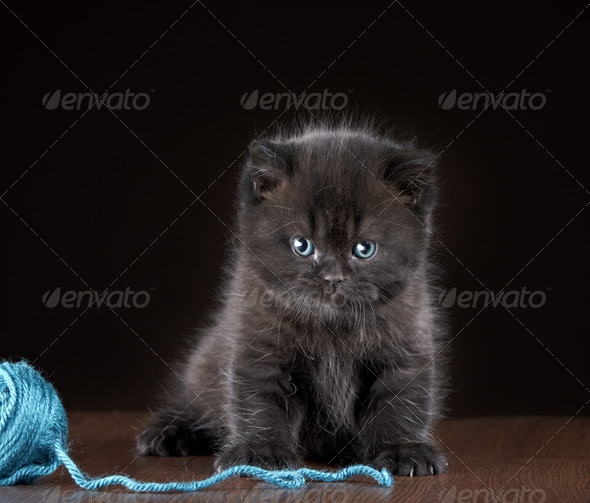 PhotoDune British short hair Kitten and ball of yarn 3890305