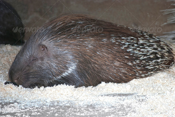 Indian Crested Porcupine - Stock Photo - Images