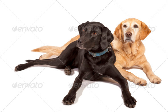 PhotoDune Labrador Retrievers 3895661