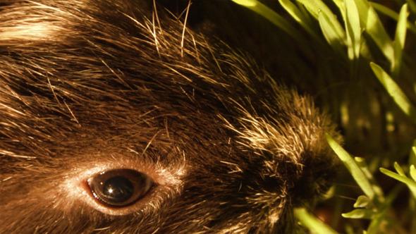 Guinea Pig 17