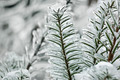 Ice Covered Spruce Branch - PhotoDune Item for Sale
