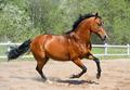 Bay Stallion of Ukrainian Riding Breed gallops - PhotoDune Item for Sale