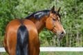 Bay Stallion of Ukrainian Riding Breed - PhotoDune Item for Sale