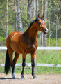 Bay Stallion of Ukrainian Riding Breed - PhotoDune Item for Sale