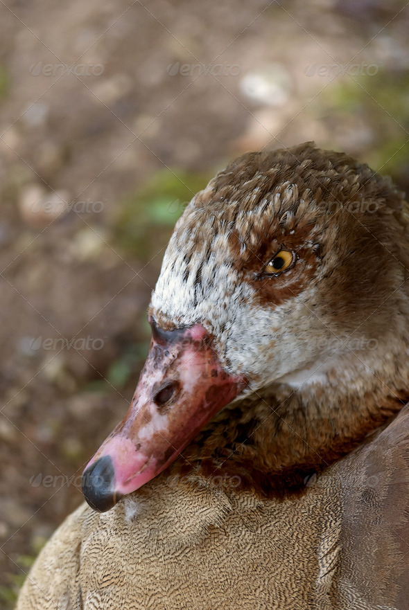 Duck - Stock Photo - Images