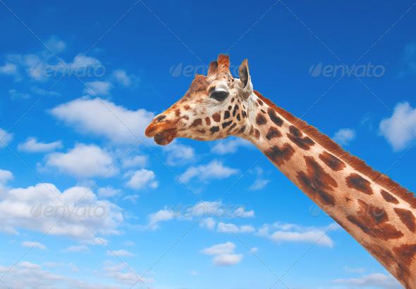 PhotoDune Giraffe against the clear blue sky 3905607