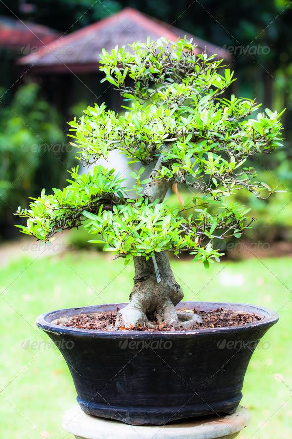 PhotoDune Beautiful bonsai in the garden 3911803