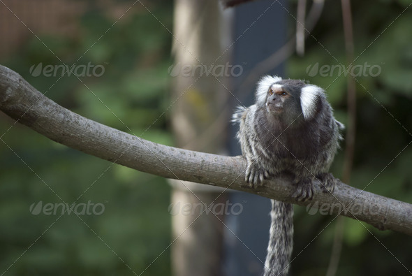 Common Marmoset - Stock Photo - Images