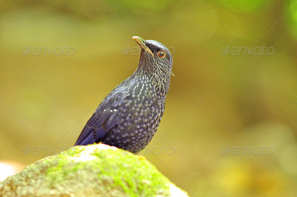 PhotoDune bluebird Blue Whistling Thrush 3919982