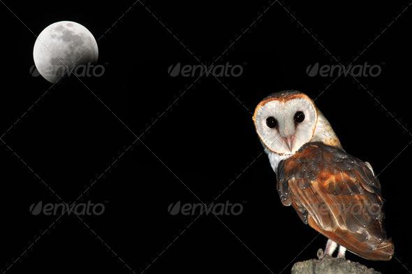 PhotoDune Barn Owl 3919983