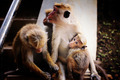Srilankan monkey family - PhotoDune Item for Sale