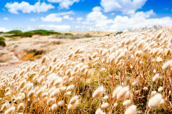 Golden Field - Stock Photo - Images