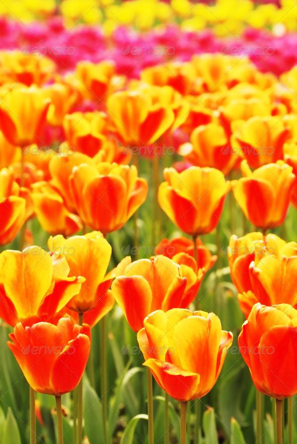 PhotoDune fresh tulips 3937066