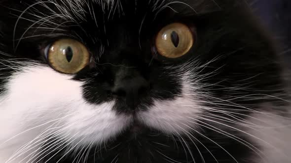 VideoHive Black And White Cat Looks At Camera 18616786