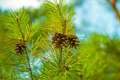 Cones on a Fir - PhotoDune Item for Sale