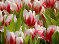 White and Red Tulip - PhotoDune Item for Sale