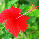 Hibiscus - PhotoDune Item for Sale