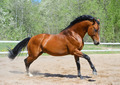 Bay Horse of ukrainian riding breed Gallops on manege - PhotoDune Item for Sale