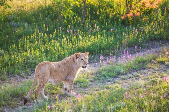 PhotoDune Lion 3937759