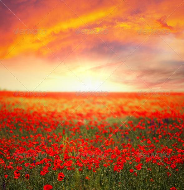 Poppy field - Stock Photo - Images