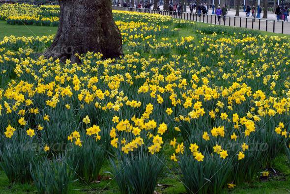 PhotoDune Daffodils 3938004