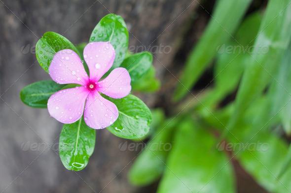 PhotoDune Madagascar periwinkle flower 3938208