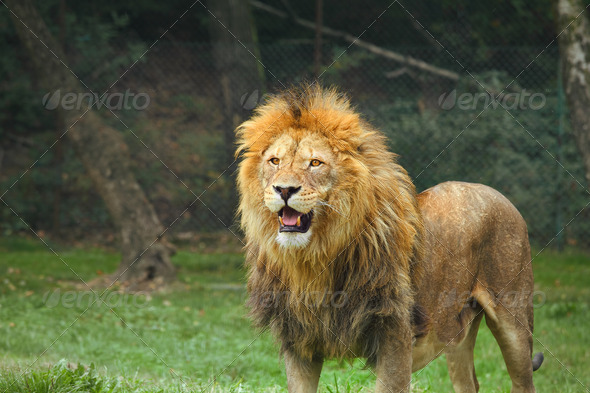 Lion in the zoo.