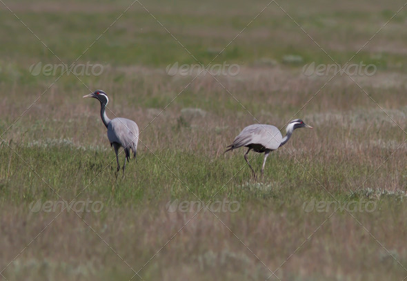 PhotoDune A pair of steppe cranes anxious near the nest 3944152