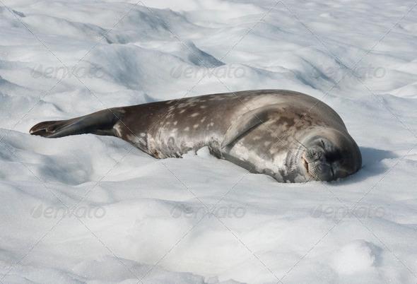 PhotoDune Weddell seal lying on a blanket of snow 3944155