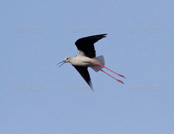 PhotoDune Black-winged Stilt anxious flying over the lake 3944158