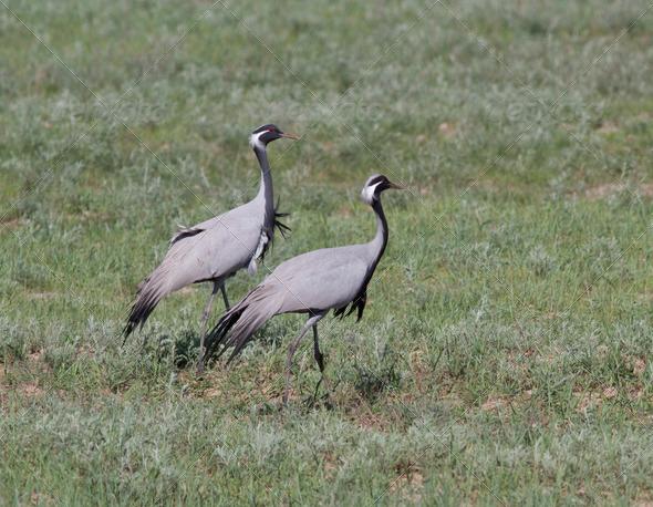 PhotoDune Male and female steppe crane 3944160