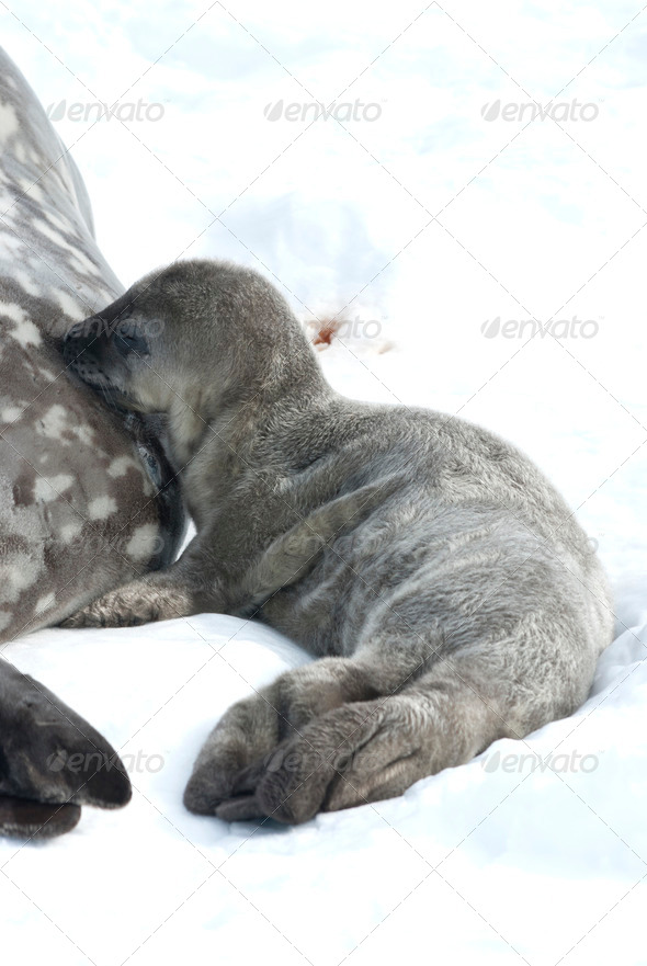 PhotoDune Weddell seal pups milk lactating 3944161
