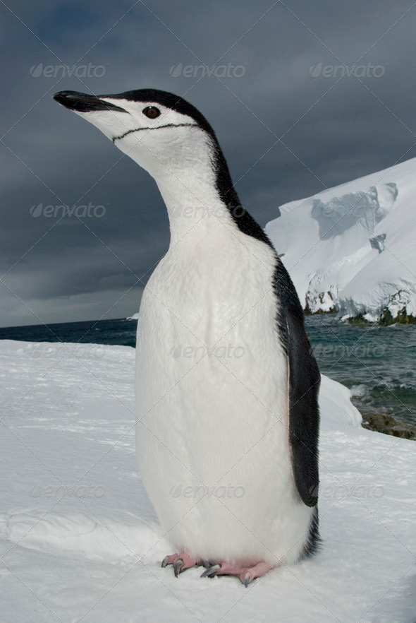 PhotoDune Antarctic penguin on the background of the ocean and ice 3944162