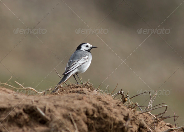 PhotoDune White Wagtail on the steppe slopes 3944166